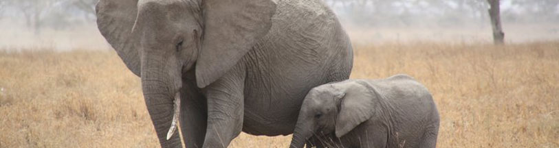 Elephant with baby