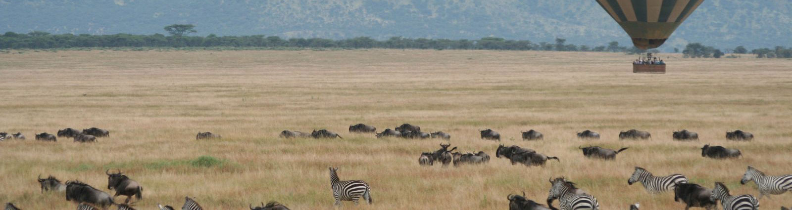 Wildebeest and zebras